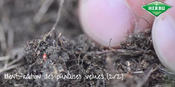 identification des punaises